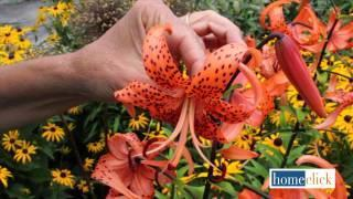 Types of Lilies and How to Grow Them